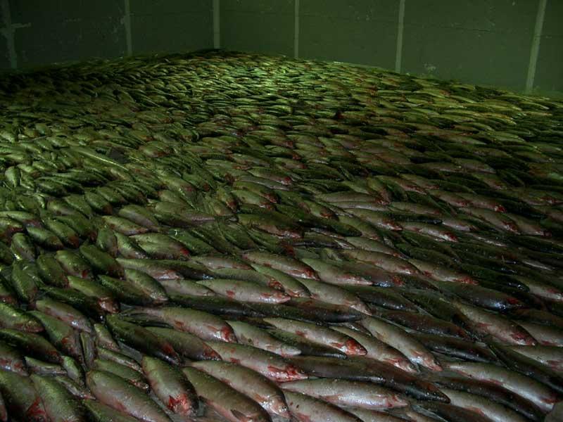 Усть-Кут.RU : Белая рыба в трюме