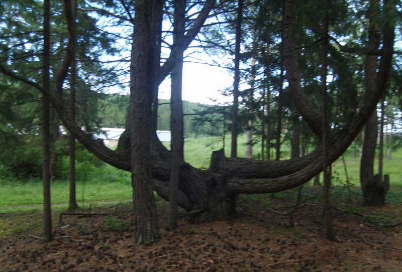 Усть-Кут.RU : дерево Лира