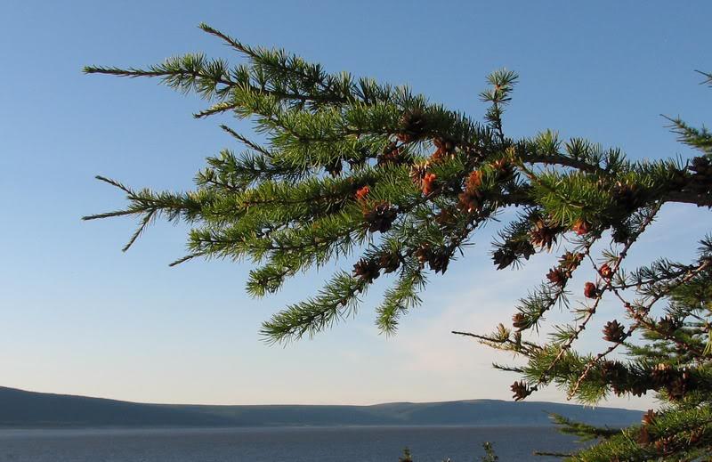 Усть-Кут.RU : Ветка пихтового дерева вблизи Кюсюра
