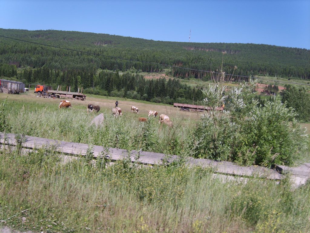 Усть-Кут.RU : Коровы